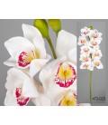 Orquídea cymbidium blanca/rosa 87 cm